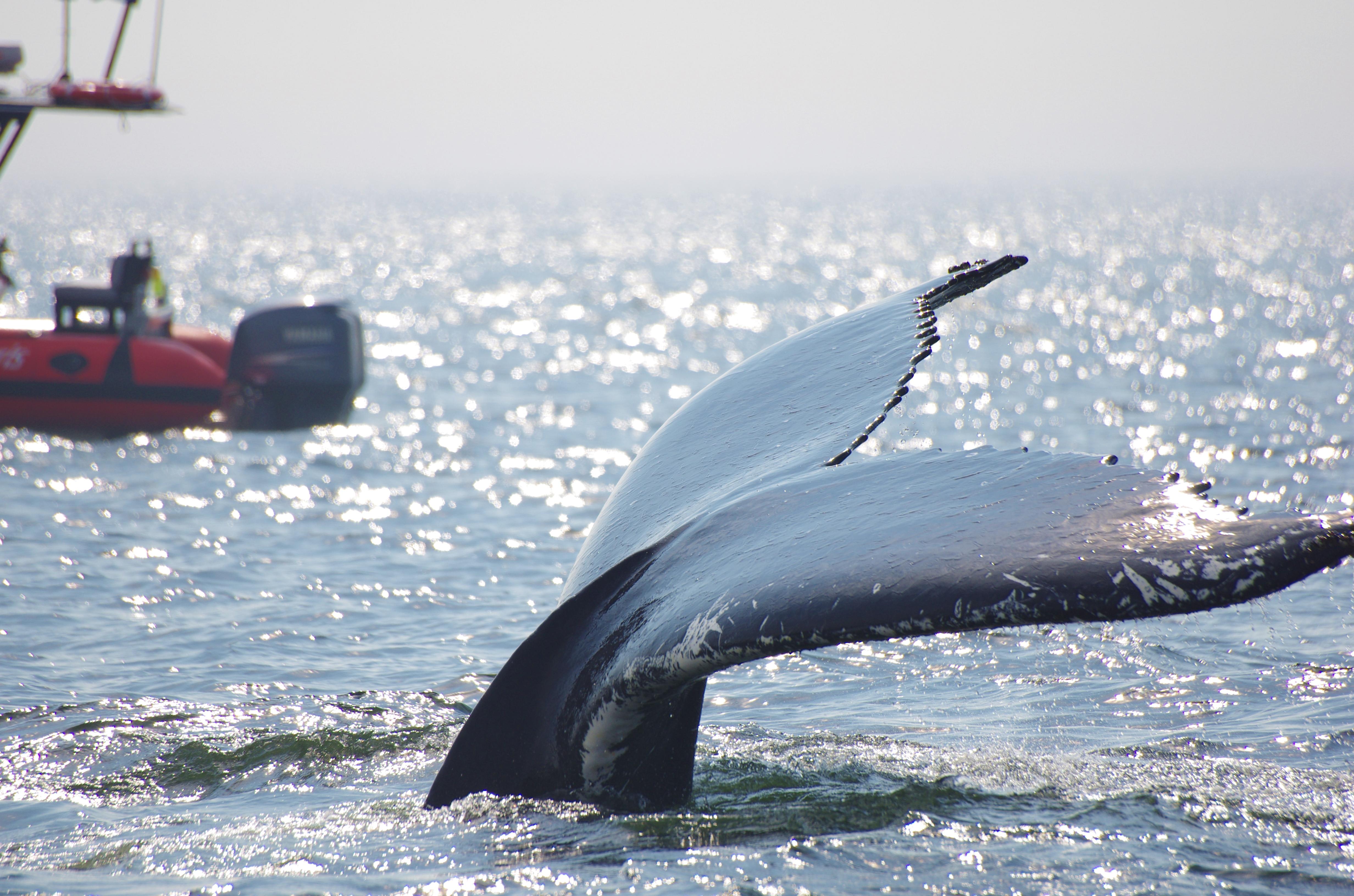 Baleine à bosse en plongée