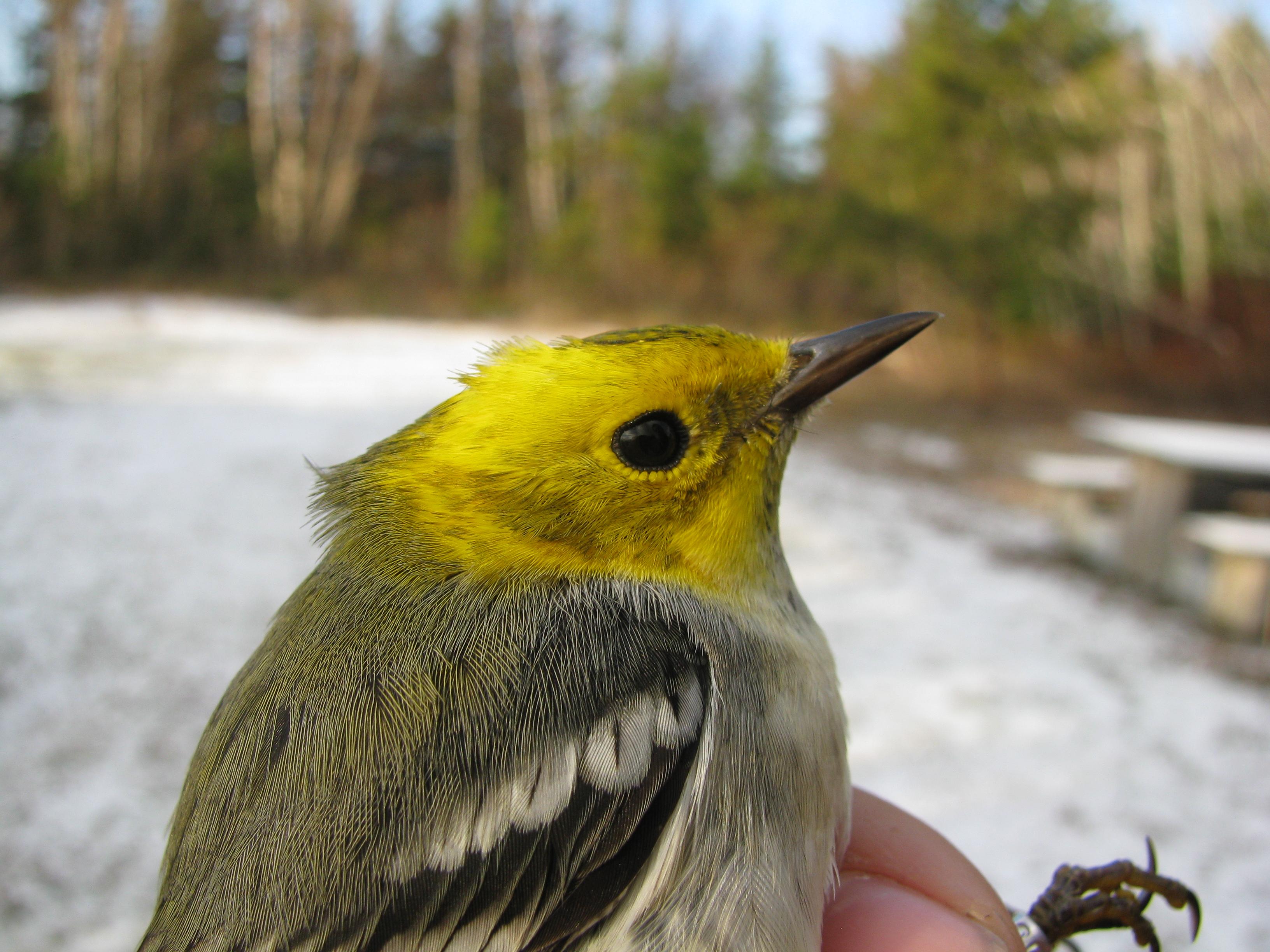 Paruline a tete jaune for Oiseau tete noire